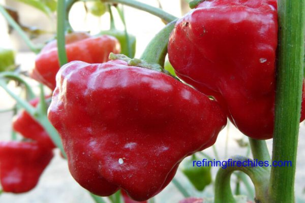 Jamaican_Red_Mushroom_14