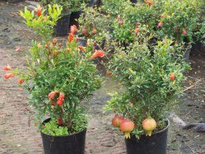 Psidium Cattleianum-Strawberry Guava Tree 10 Seeds | Super