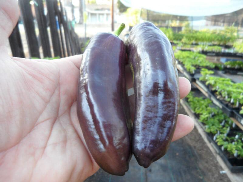 Purple_Marconi