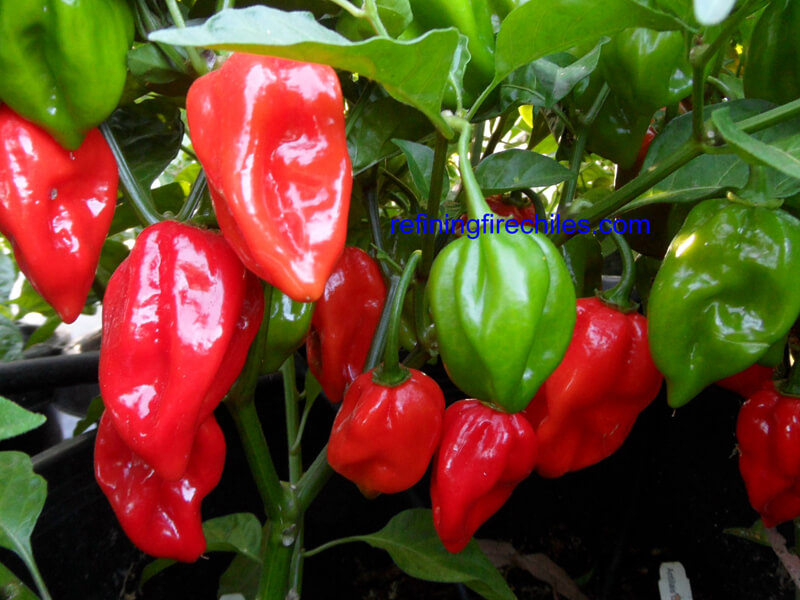 Antillais_Red_Caribbean_Habanero_3