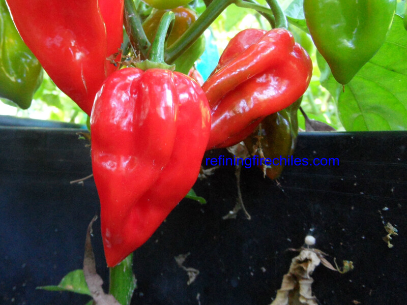 Antillais_Red_Caribbean_Habanero_4