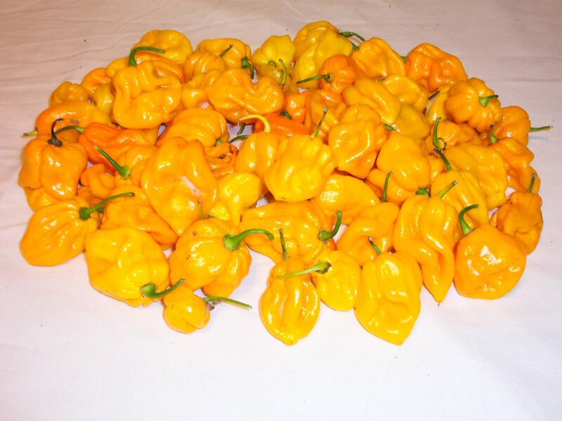 Congo Yellow Trinidad 22