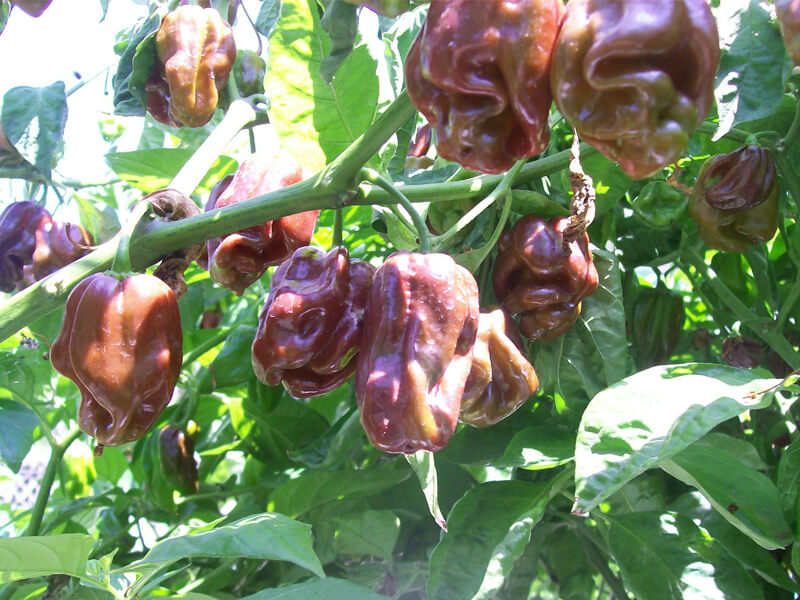 Jamaican Chocolate Habanero 10