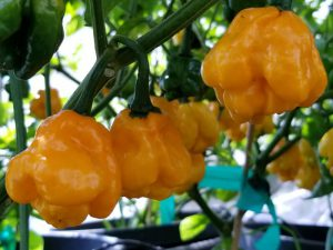 MOA Scotch Bonnet Yellow