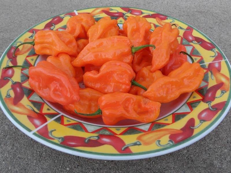 Naranja Habanero 14