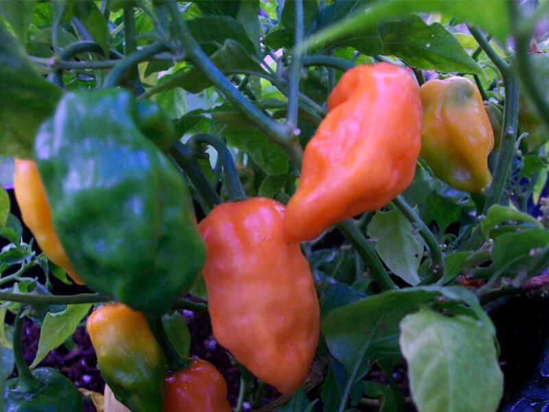Orange Habanero 1