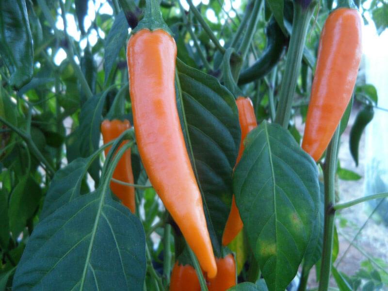 Orange_Thai_1