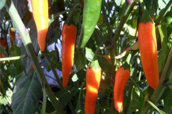Orange_Thai_3