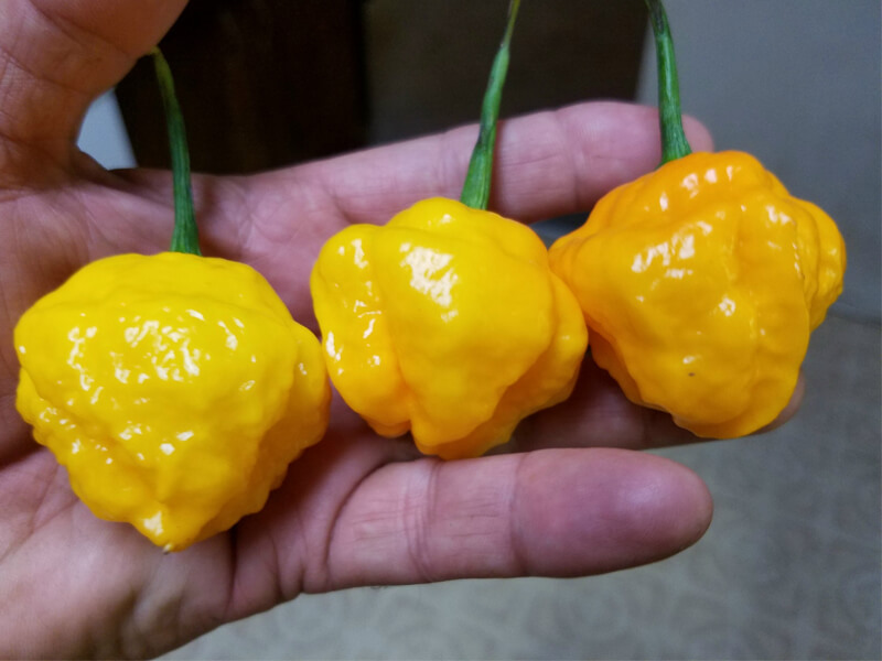 Papa Dreadie Scotch Bonnet