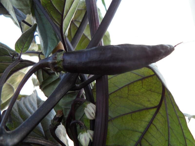 Pimenta de Neyde 5