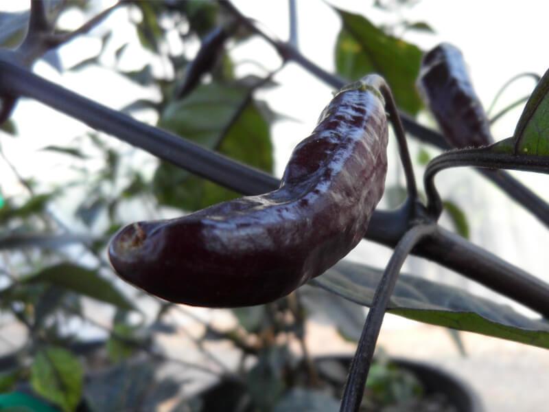 Pimenta de Neyde 6