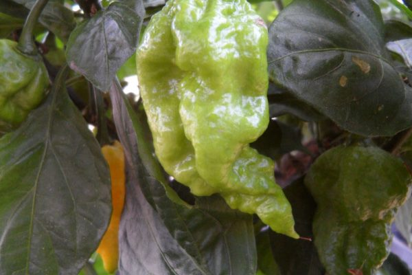 7 Pot Primo Yellow 12