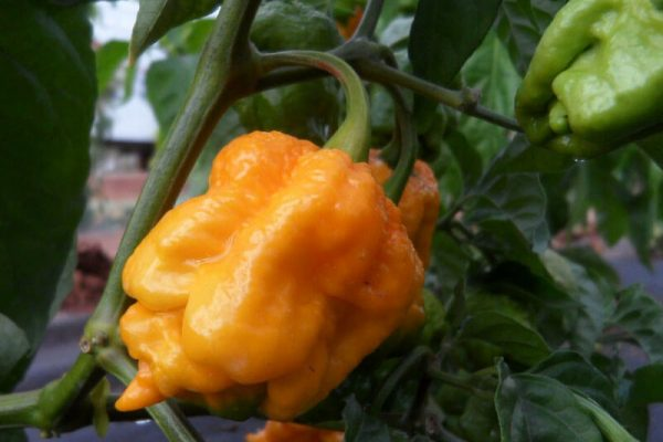 7 Pot Primo Yellow 2