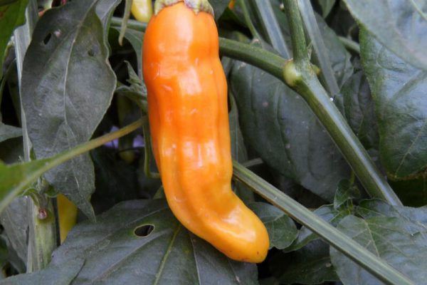 Aji Golden 1