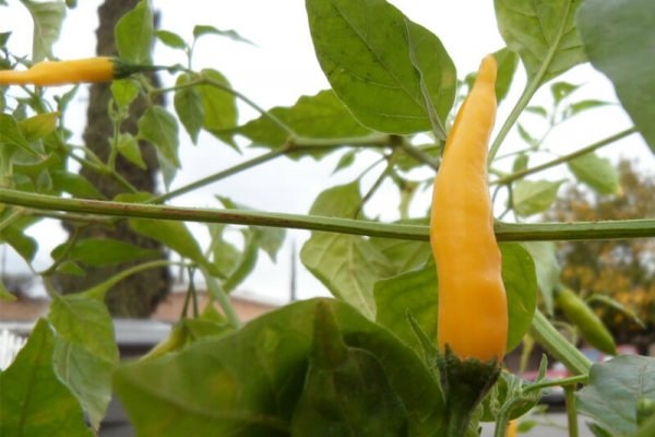 Aji Lemon Drop 1