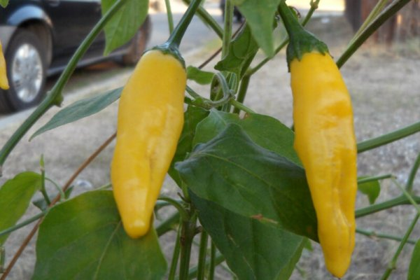 Aji Lemon Drop 3