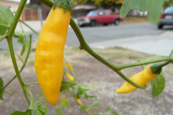 Aji Lemon Drop 6