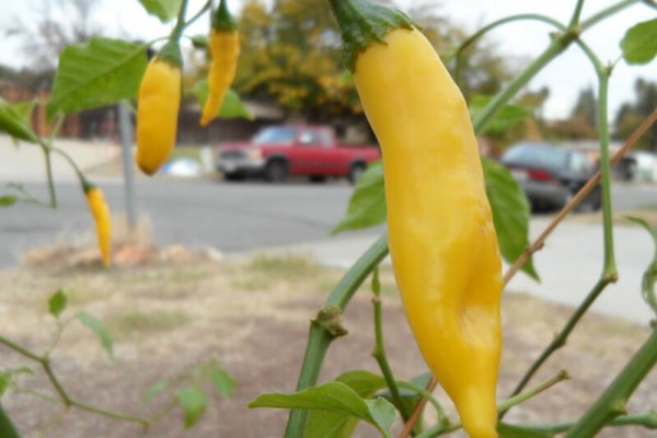 Aji Lemon Drop 7