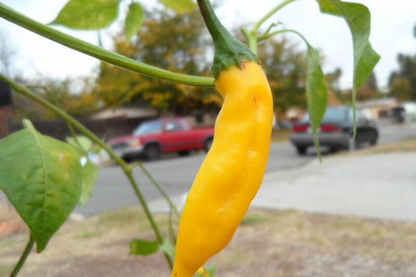 Aji Lemon Drop 8