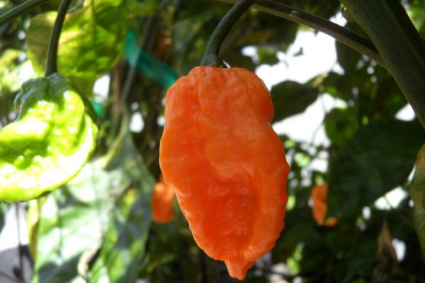 Bhut Jolokia Orange Copenhagen 1