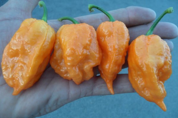 Bhut Jolokia Orange Copenhagen 11