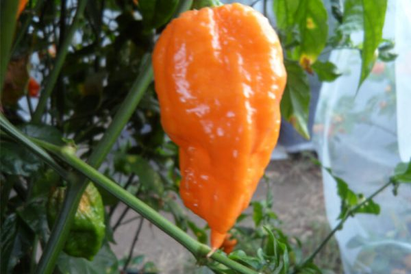 Bhut Jolokia Orange Copenhagen 12