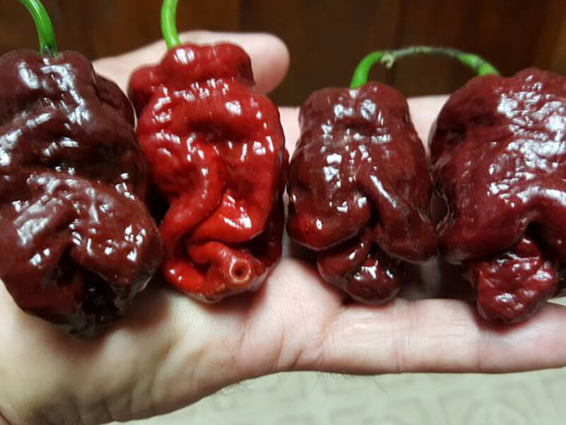 Bhutlah Scorpion Chocolate 1