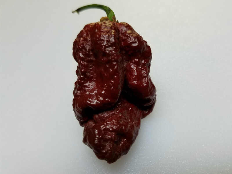Bhutlah Scorpion Chocolate 2