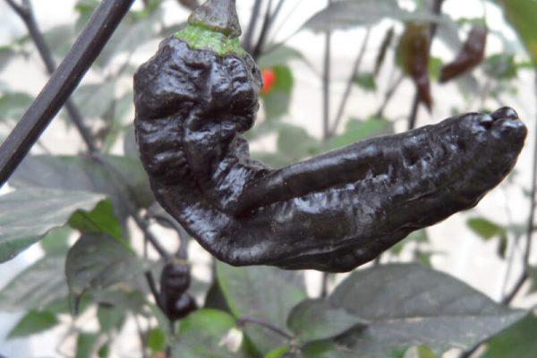 Black Bhut Jolokia 12