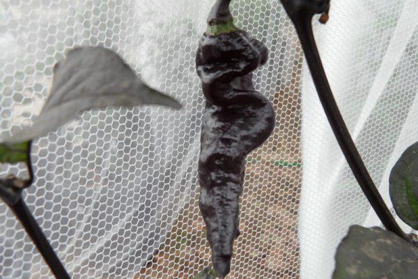 Black Bhut Jolokia 17