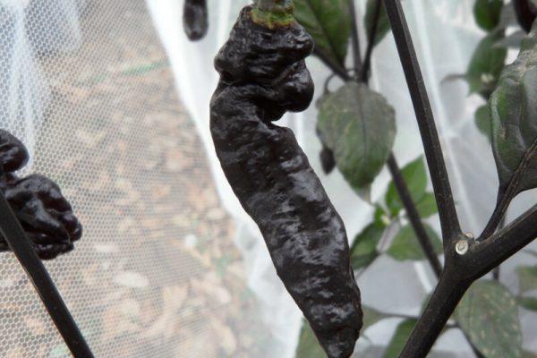 Black Bhut Jolokia 4