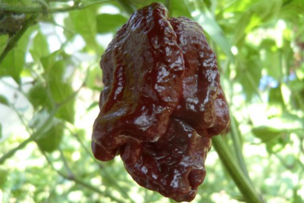 Brown Moruga Scorpion 1