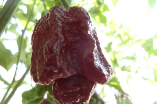 Brown Moruga Scorpion 12