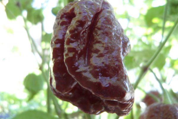 Brown Moruga Scorpion 4