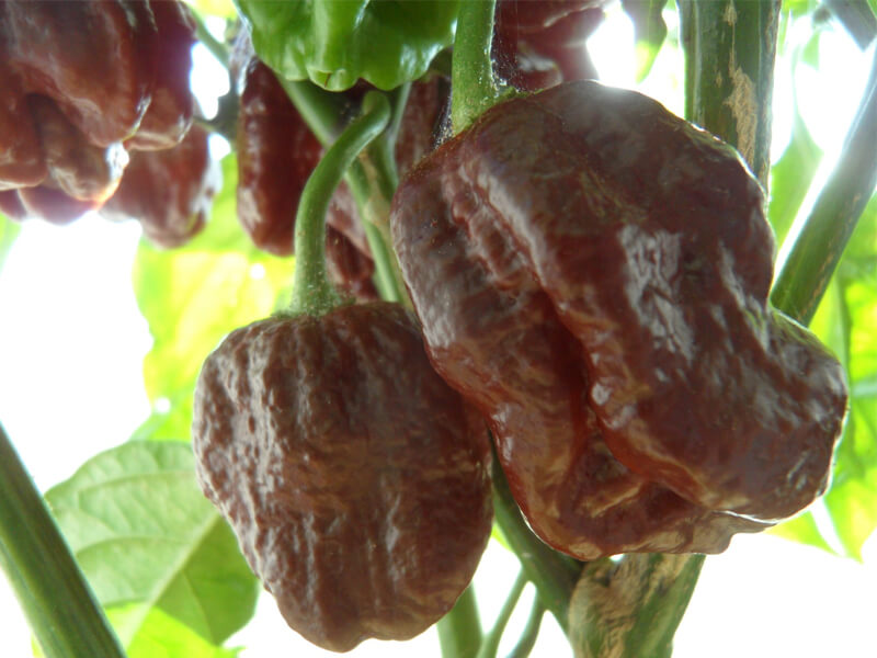 Brown Moruga Scorpion 5