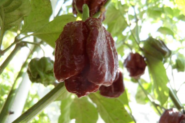 Brown Moruga Scorpion 6