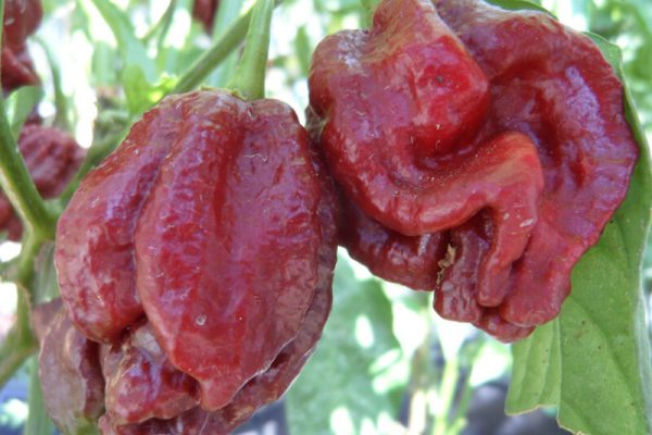 Brown Moruga Scorpion 7