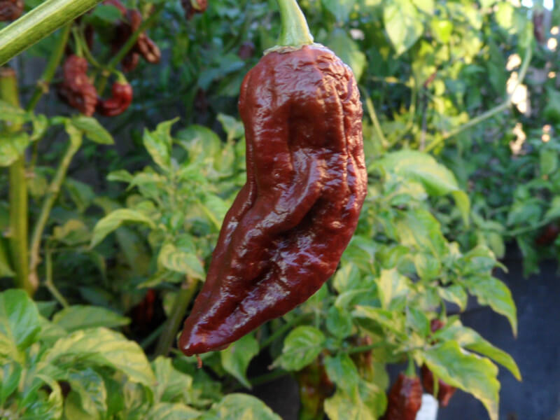 Chocolate Bhut Jolokia 27
