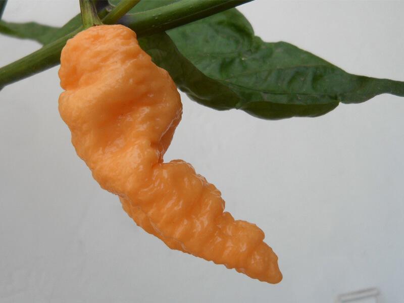 Peach Bhut Jolokia 2