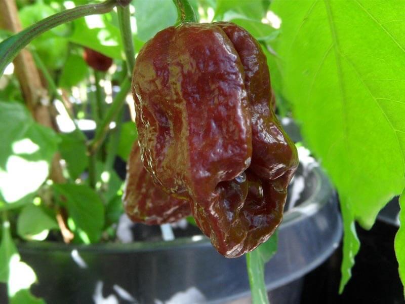 Trinidad 7 Pot Douglah 38