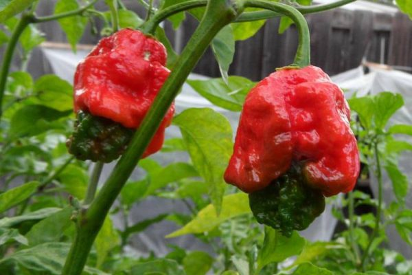 Trinidad 7 Pot Primo 34
