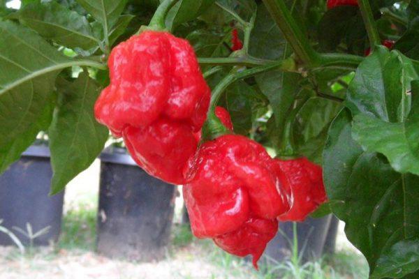 Trinidad 7 Pot Primo 43