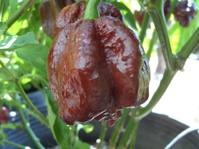 Trinidad Chocolate Scorpion 15