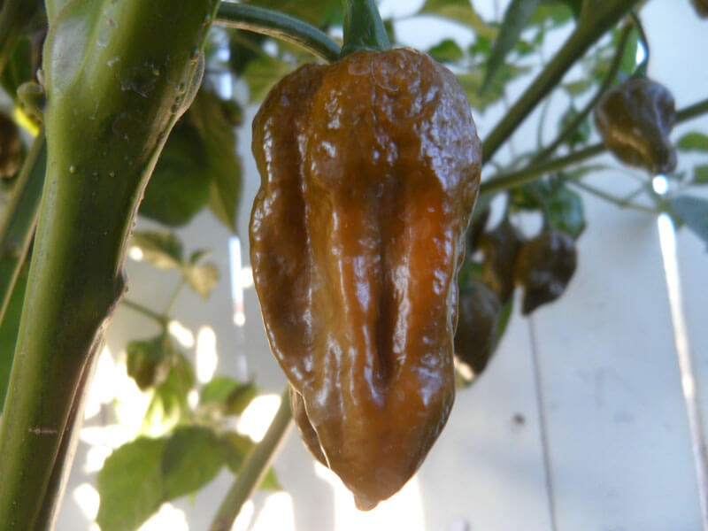 Trinidad Mustard Scorpion 12