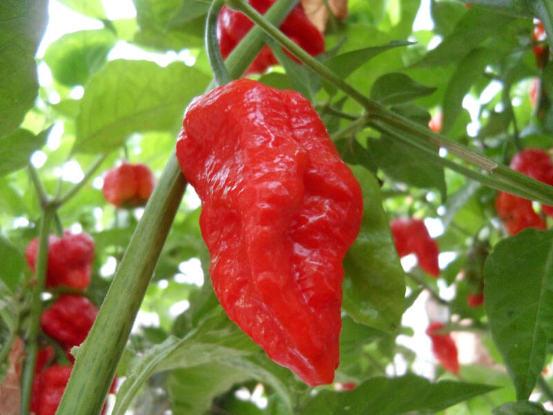 Trinidad Scorpion Large 10