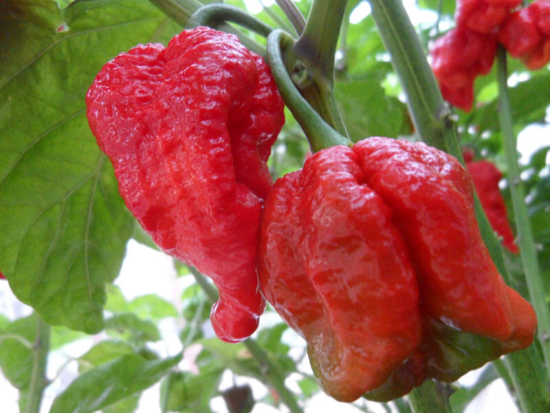 Trinidad Scorpion Large 5