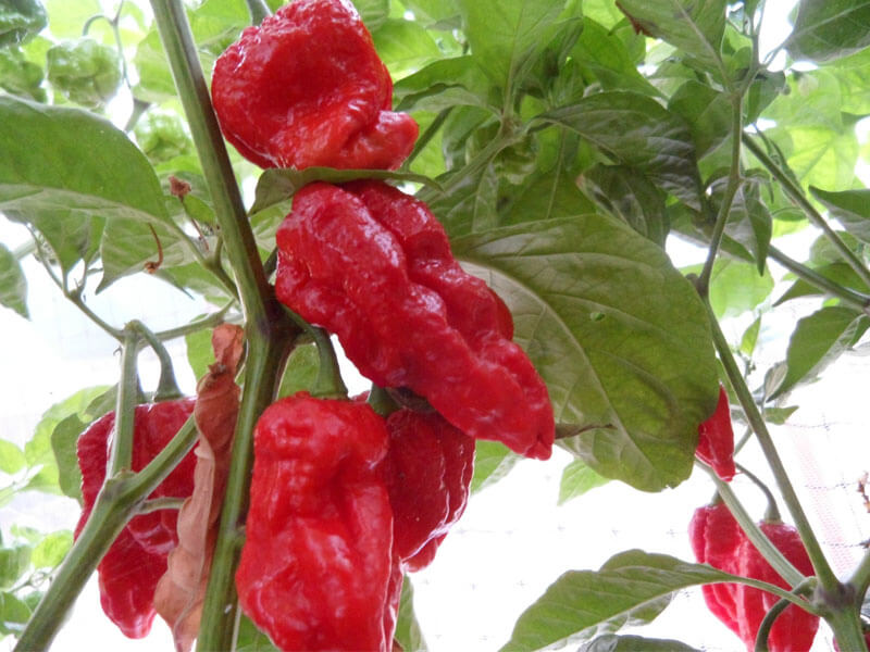 Trinidad Scorpion Large 6