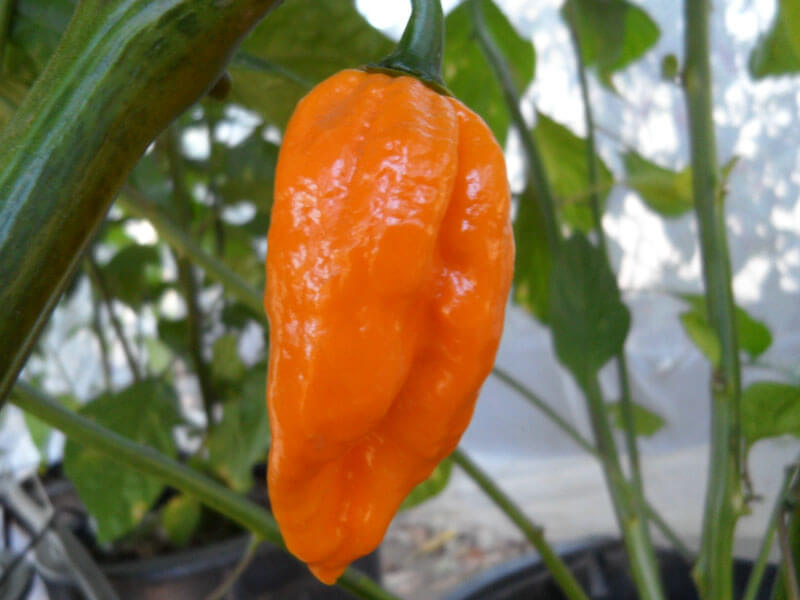 Yellow Naga 6