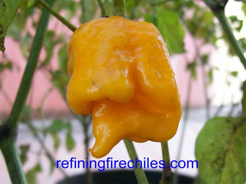 Yellow Trinidad Scorpion 18