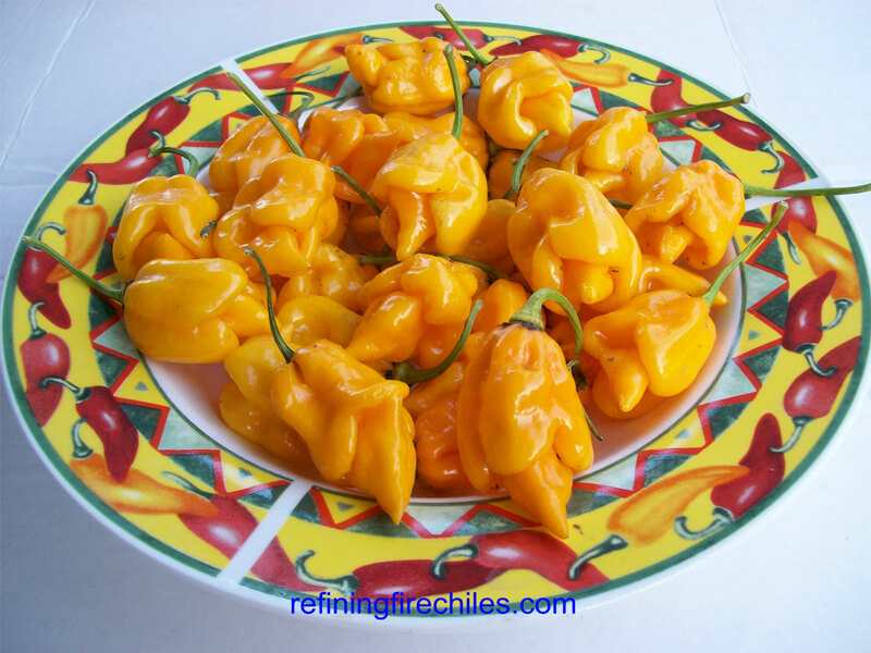 Yellow Trinidad Scorpion 21